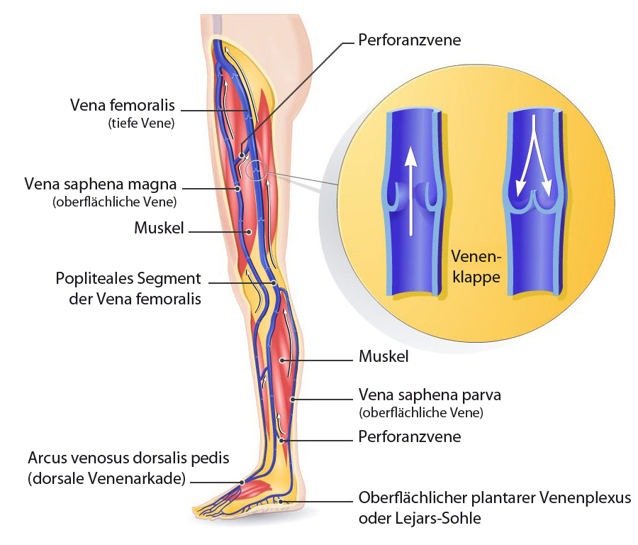 Anatomy of venous system of lower limb